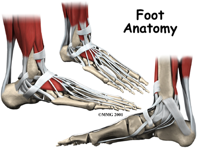 A Patient S Guide To Foot Anatomy 2020 Orthonorcal Los Gatos Capitola Morgan Hill Watsonville Ca